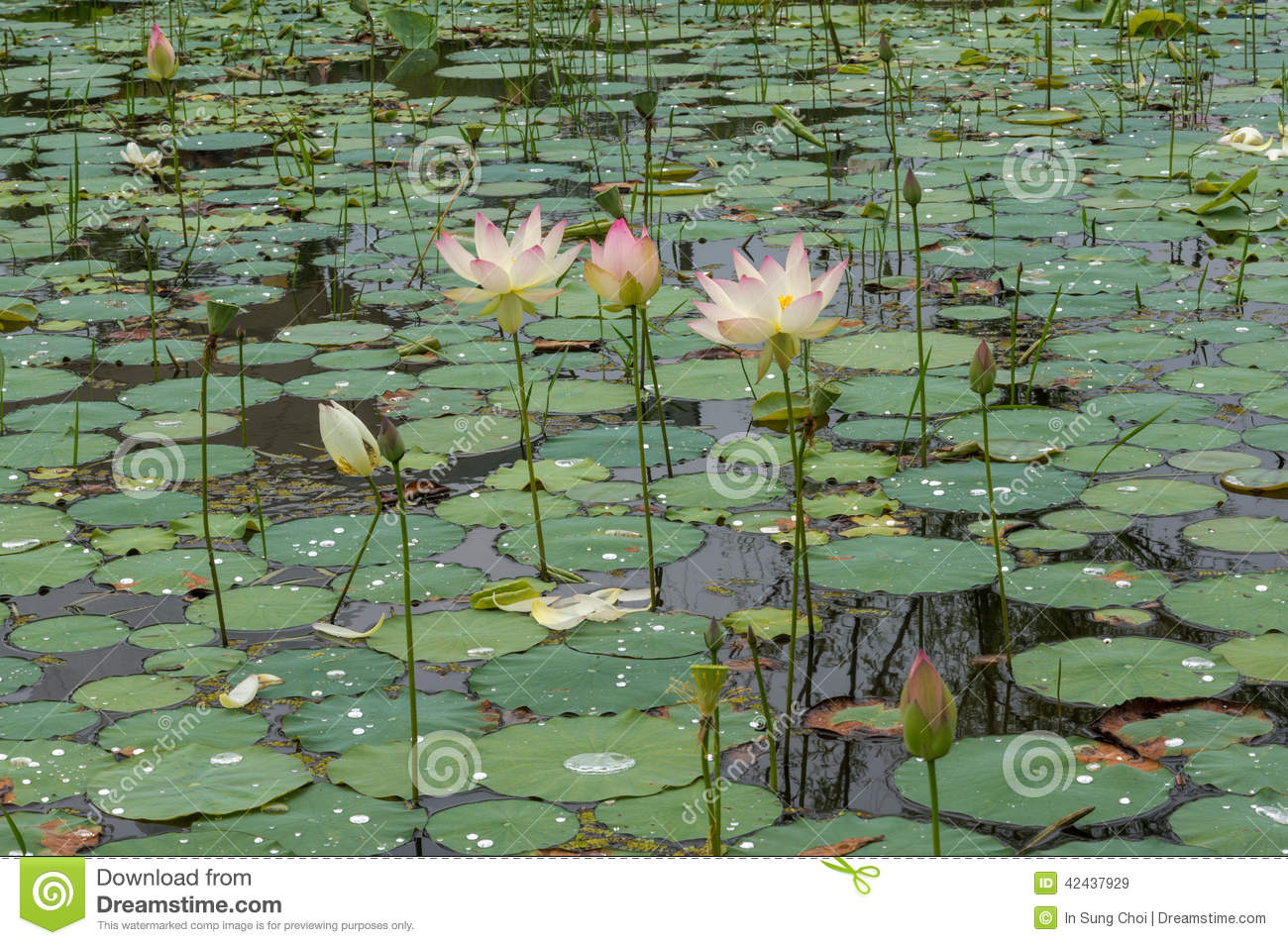 Lotus flower in the pond stock image for Pond dealers