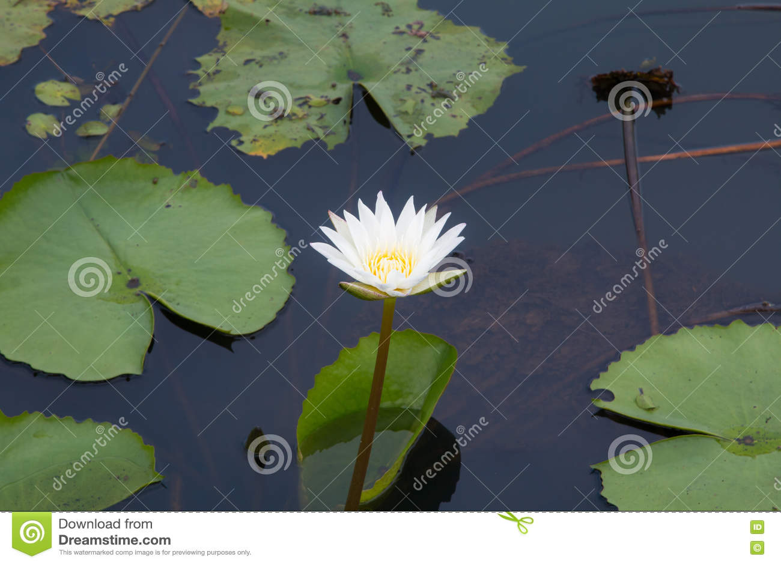 Lotus Flower In Pond Stock Illustration Illustration Of Plant