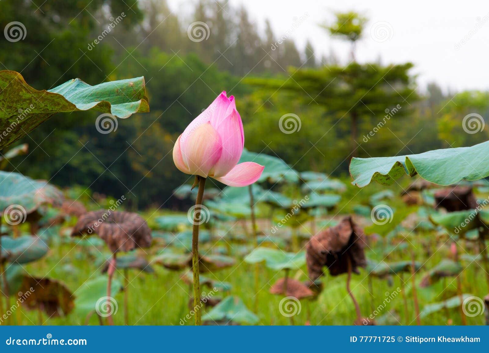 Lotus flower in pond stock illustration illustration of flowers lotus flower in pond flowers oriental izmirmasajfo