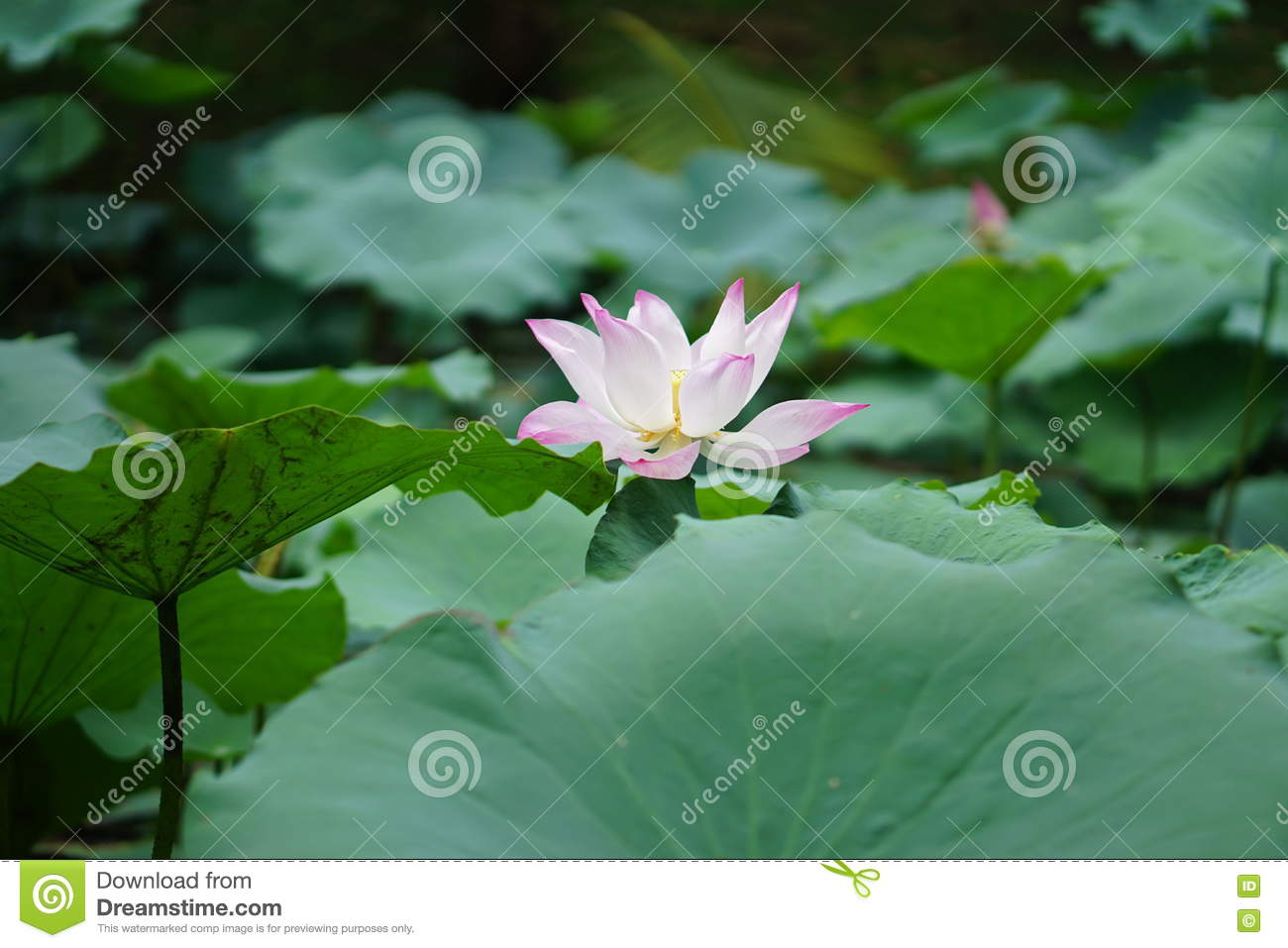 Lotus flower in pond stock photo image of blossom sunlit 79974182 download comp izmirmasajfo