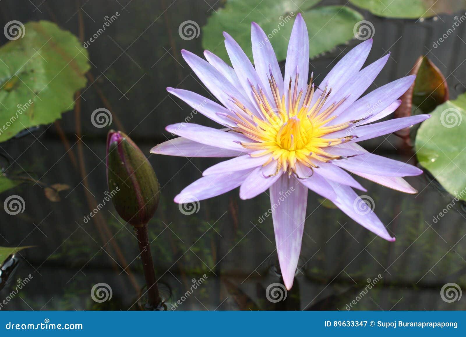 Lotus flower in pond vintage tone colour stock image image of tone lotus flower in pond vintage tone colour izmirmasajfo