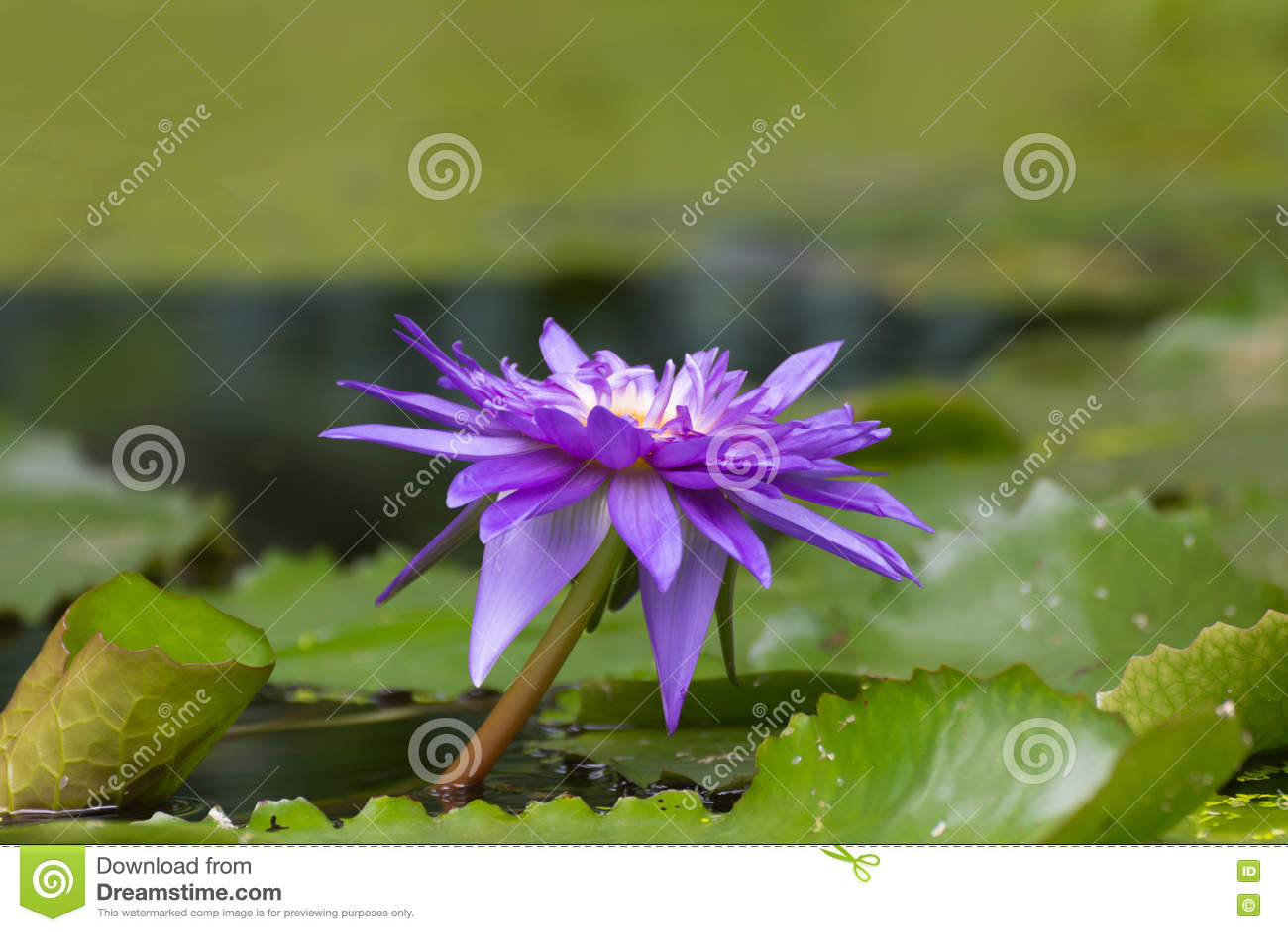 Lotus flower purple color stock photo. Image of colors - 78492044