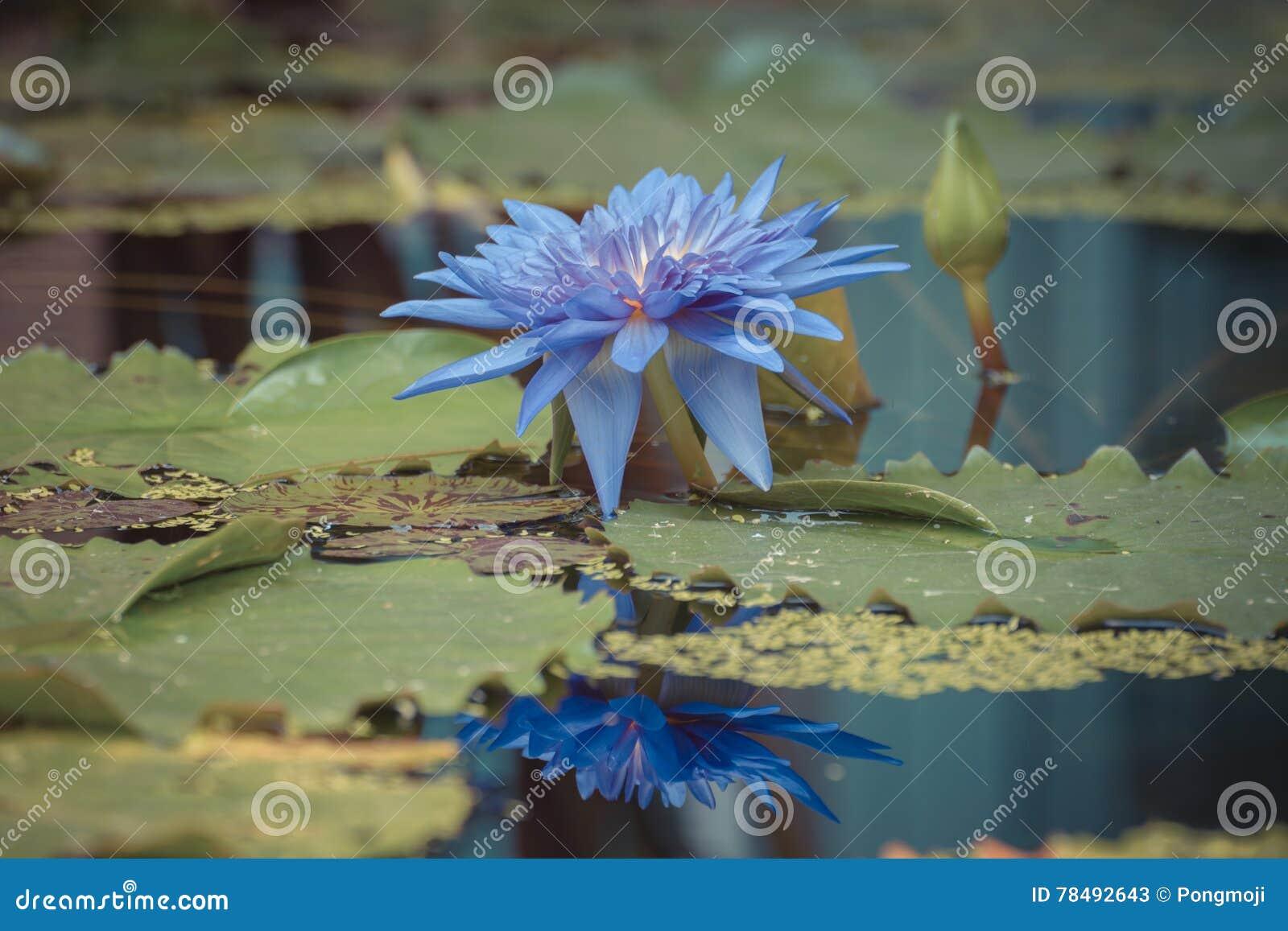 Lotus flower purple color stock image. Image of botanical - 78492643