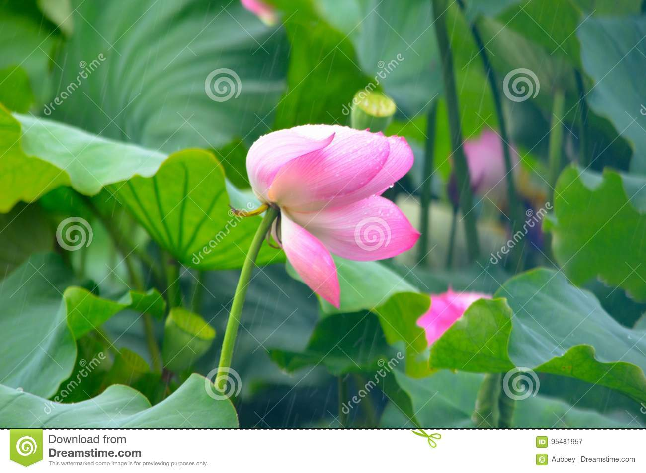 Lotus flower in the rain stock image image of bloom 95481957 lotus flower in the rain izmirmasajfo