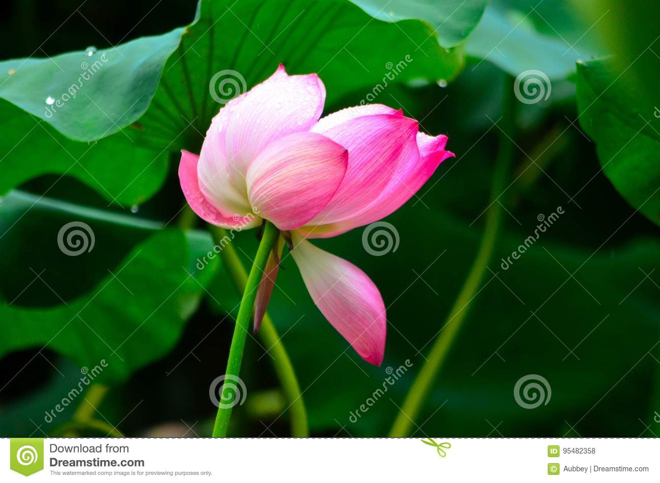 The Lotus Flower In The Rain Stock Photo Image Of Create