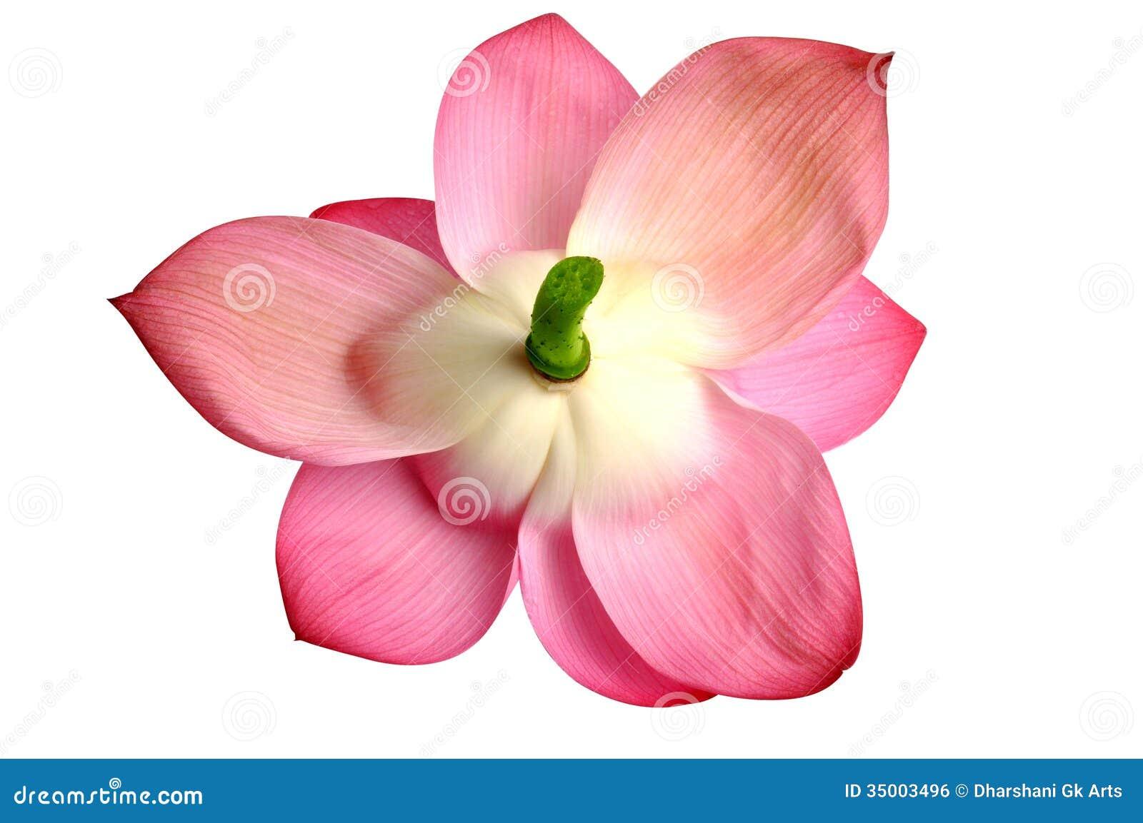 10 Real Lotus Flower Image