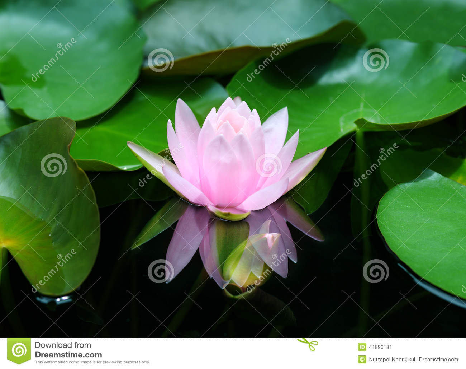 Lotus flower reflection water pond blooming pink water lily download lotus flower reflection water pond blooming pink water lily stock image image izmirmasajfo