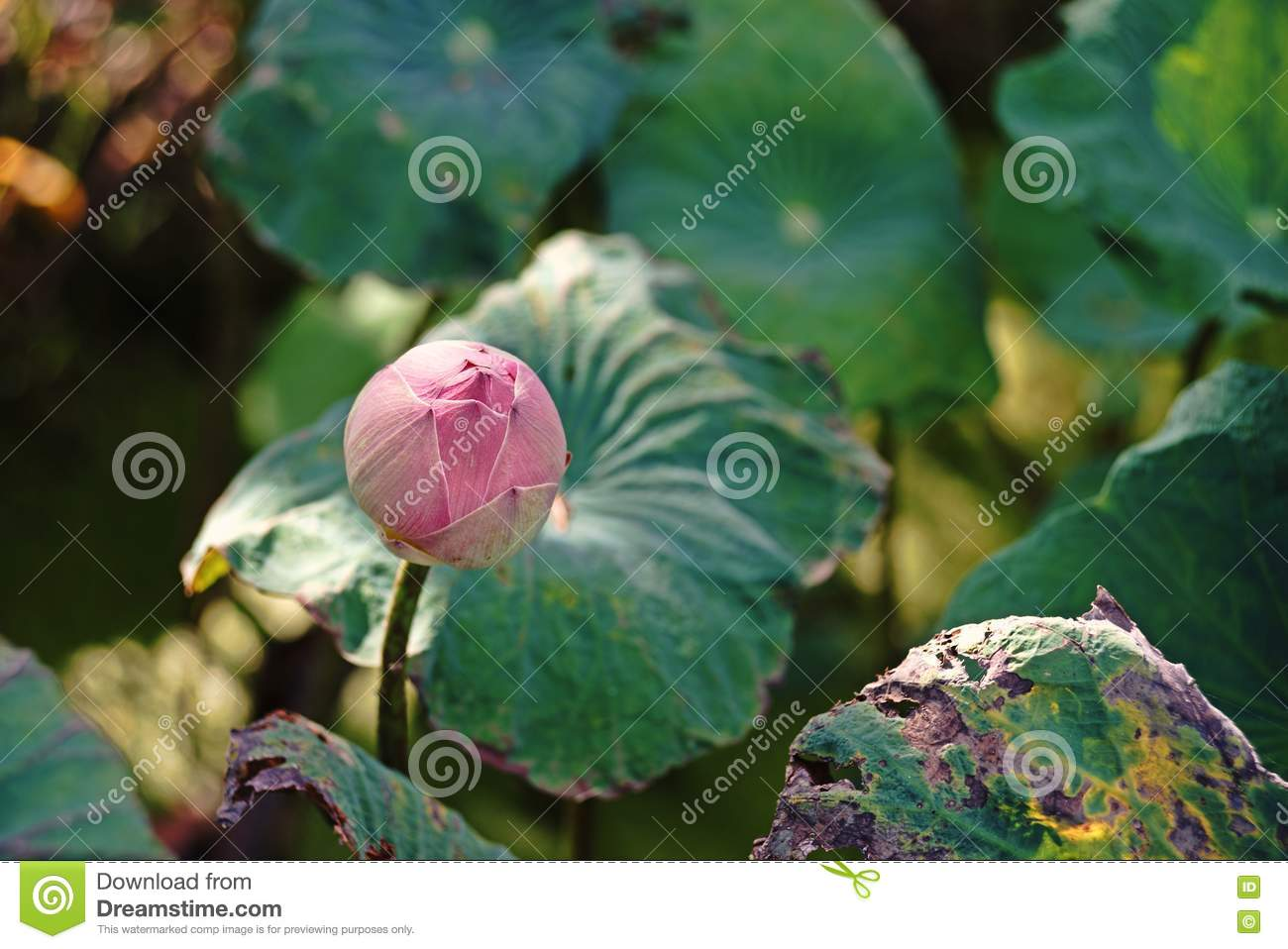 Lotusflower related to religion and nation stock image image of pink lotusbeautiful flowere national flower of india vietnam and bangladesh its native tropical flower of asia izmirmasajfo