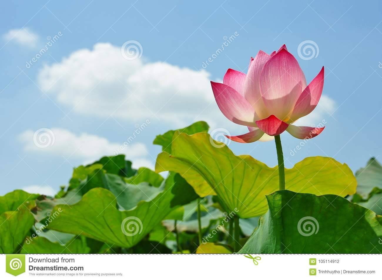 Lotus flower rising from mud to the sunshine stock photo image of royalty free stock photo izmirmasajfo Image collections