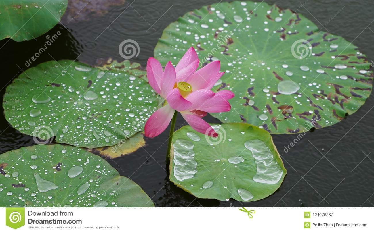 A lotus flower with raindrop is standing in the river stock image download a lotus flower with raindrop is standing in the river stock image image of izmirmasajfo
