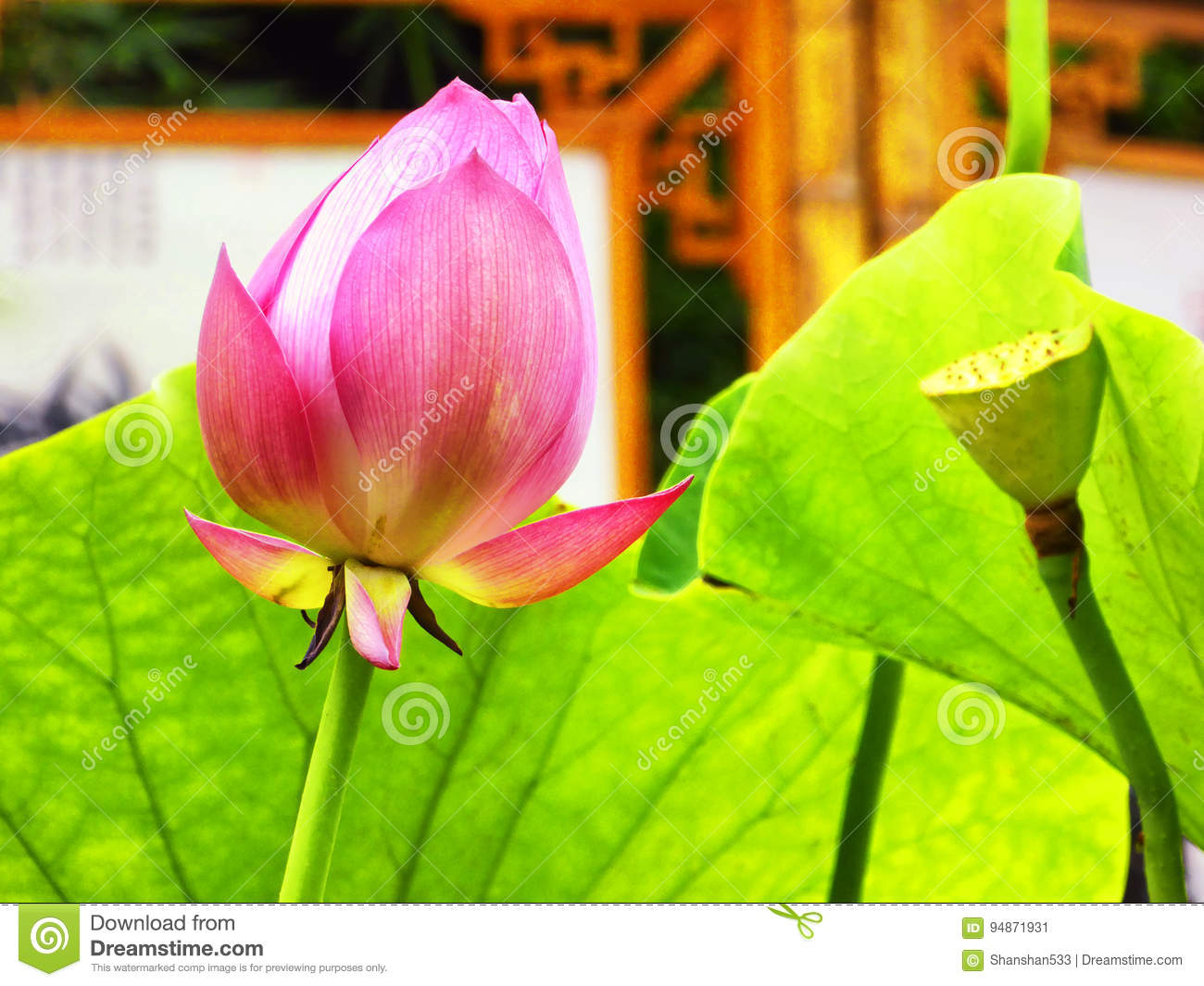 Lotus flower root and bud stock image image of nanxiang 94871931 download lotus flower root and bud stock image image of nanxiang 94871931 mightylinksfo