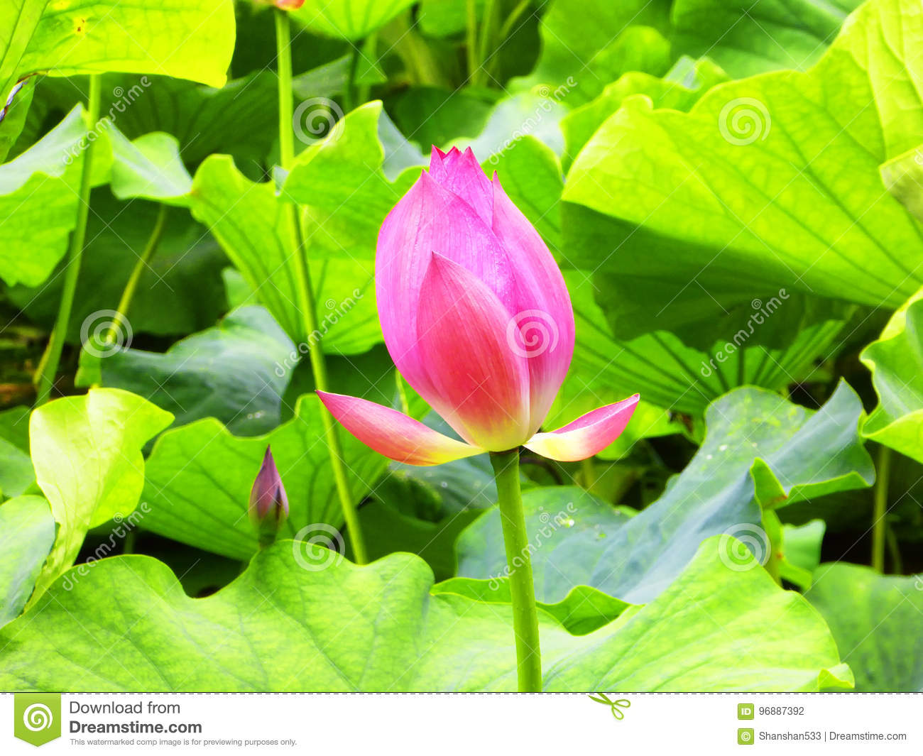 Lotus Flower Root And Bud Stock Photo Image Of Flowering 96887392