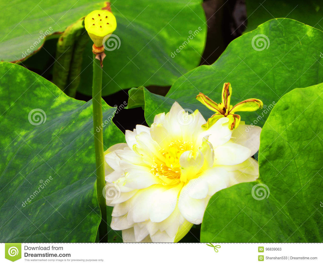 Lotus Flower Root And Bud Stock Image Image Of Outdoors 96839063