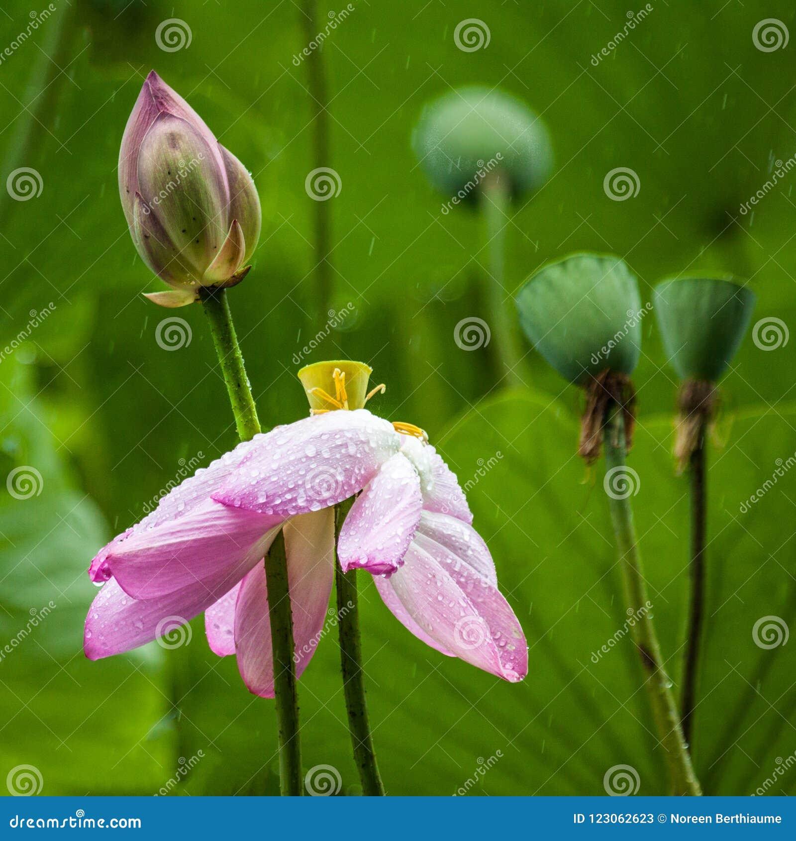 Lotus Flower rose avec les feuilles de vert et la cosse de bourgeon et de graine