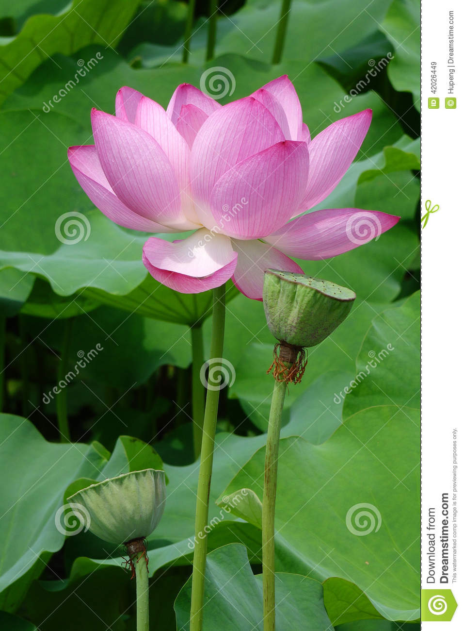 Lotus Flower With Seed Pod Stock Image Image Of Details 42026449