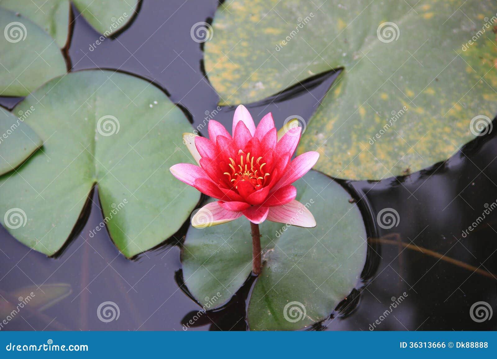 Lotus Flower Stock Photo Image Of Deep Botany Blooming 36313666