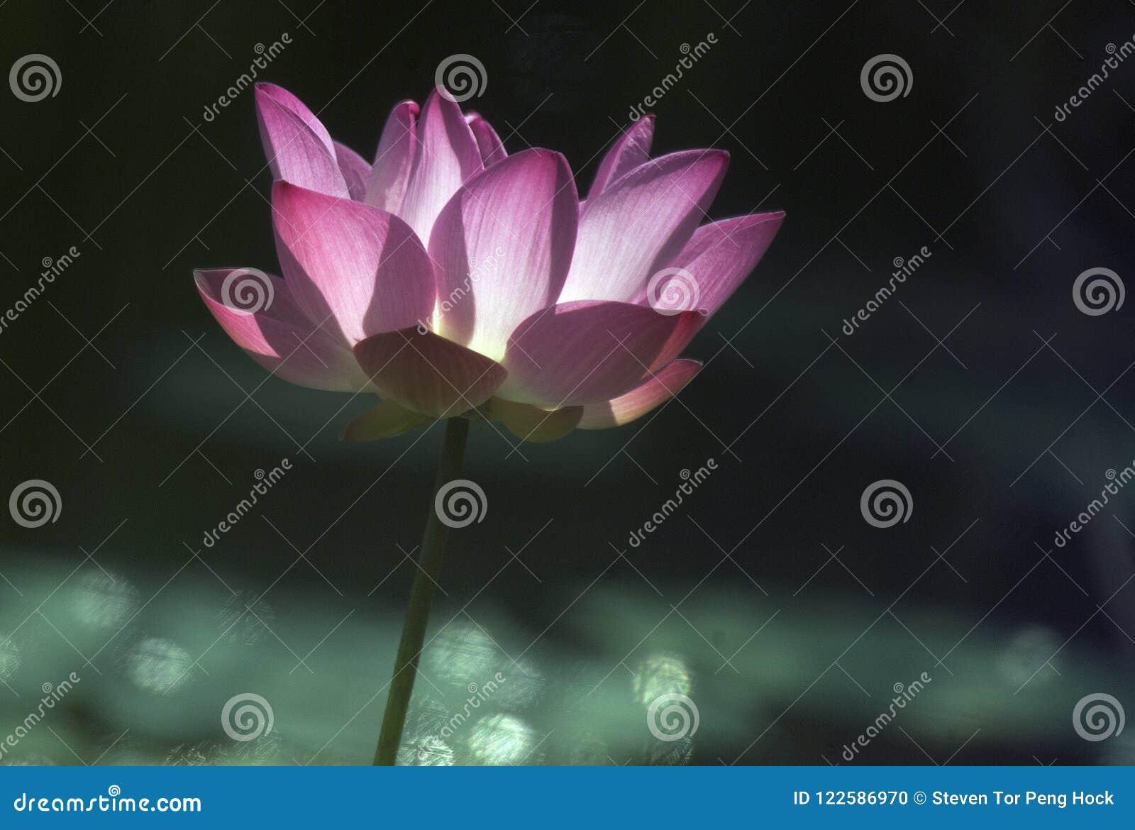 Lotus flower in sun stock photo image of color india 122586970 lotus flower in sun izmirmasajfo