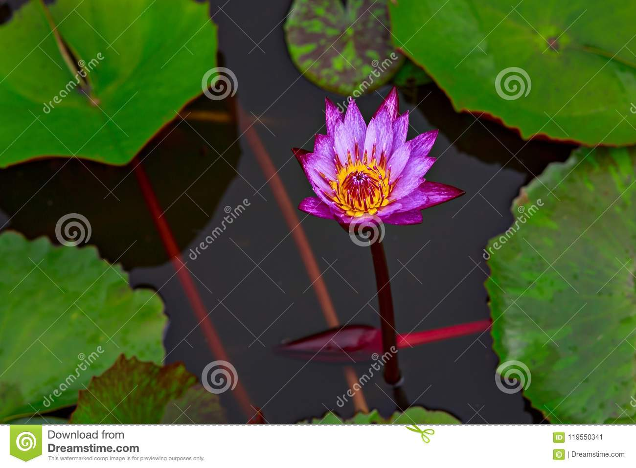 Lotus Flower Surrounded By Large Green Leaves Thailand Stock Image