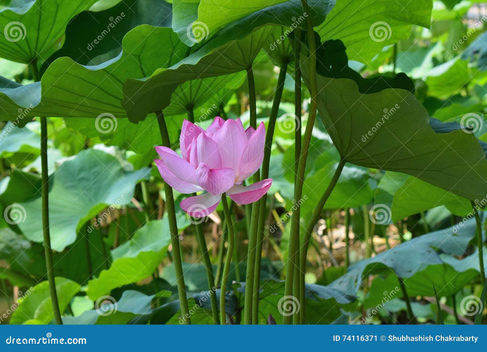 Lotus flower symbol of buddhism and religion stock image image of lotus flower symbol of buddhism and religion mightylinksfo
