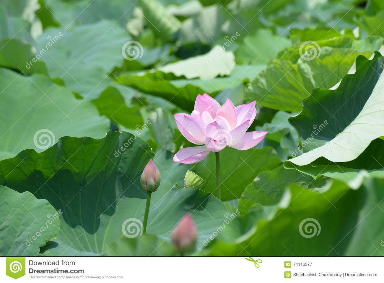 Lotus flower symbol of buddhism and religion stock image image of download lotus flower symbol of buddhism and religion stock image image of concepts full mightylinksfo