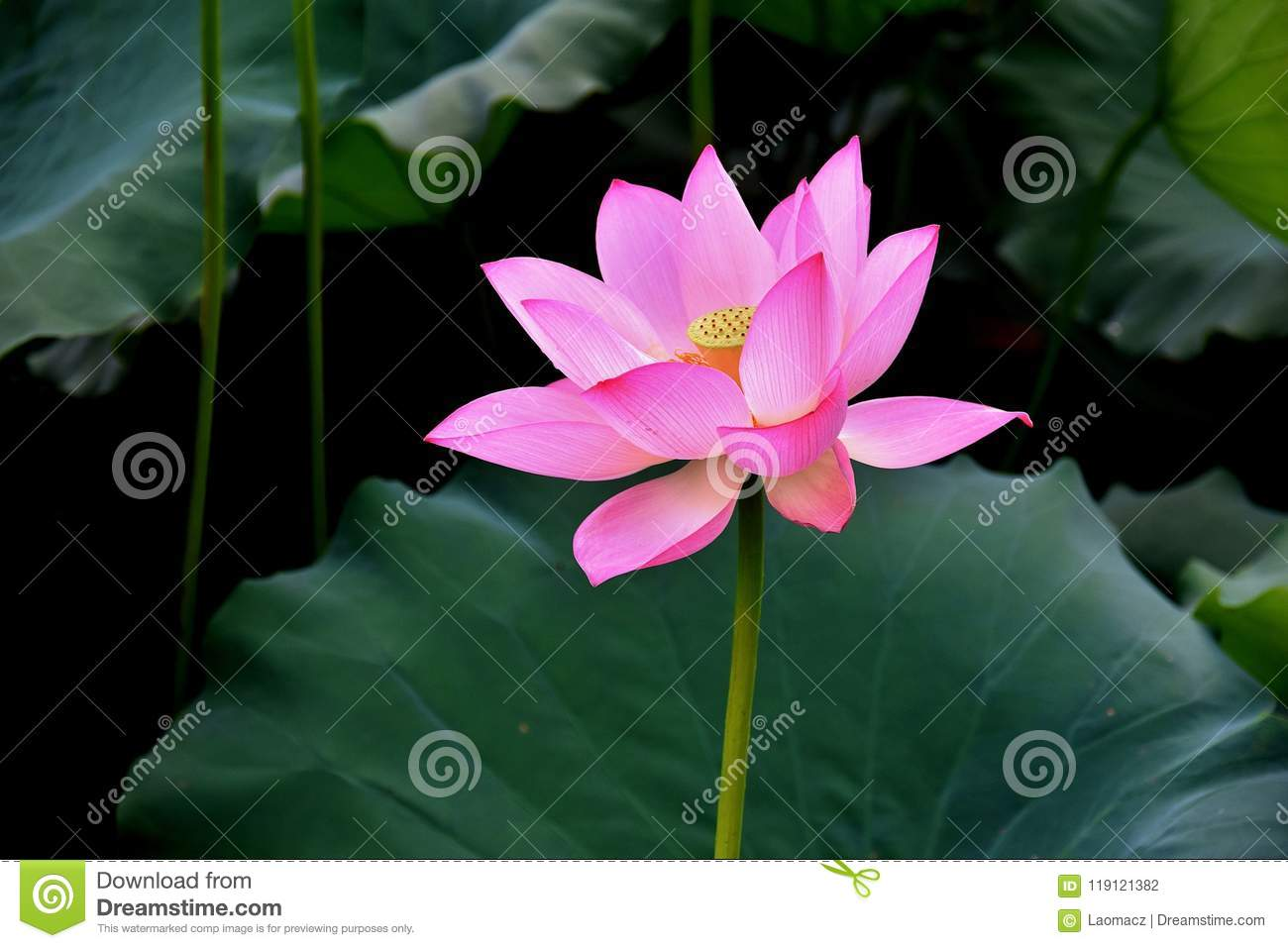 Lotus Burst Into Bloom Lotus With Green Leaves Lotus On The Pond