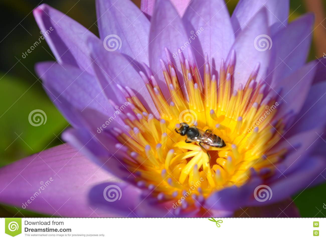 Lotus flower stock photo image of ubon floral beautiful 79635402 download lotus flower stock photo image of ubon floral beautiful 79635402 izmirmasajfo