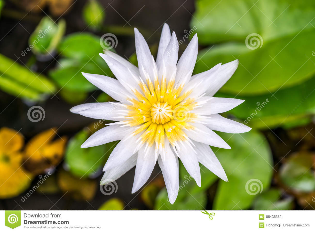 Lotus Flower Tropical Water Lily Stock Photo Image Of Monet