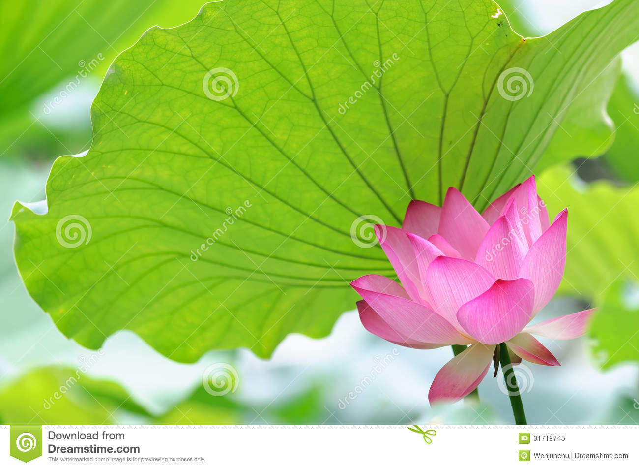 Lotus Flower Under The Lotus Leaf Stock Image Image Of Texture