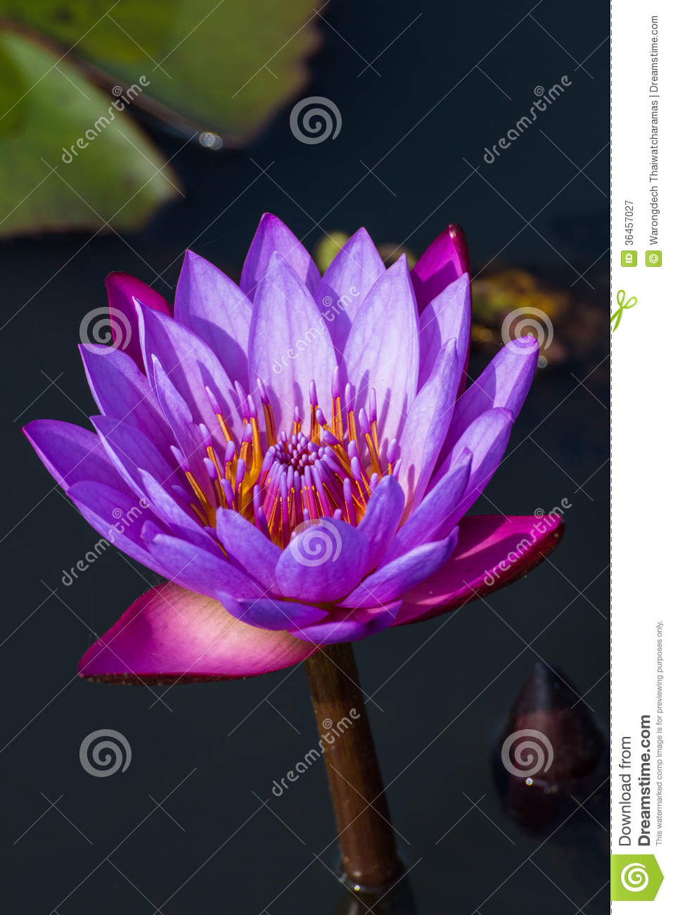 Lotus Flower In Violet Stock Image Image Of Giant Garden 36457027