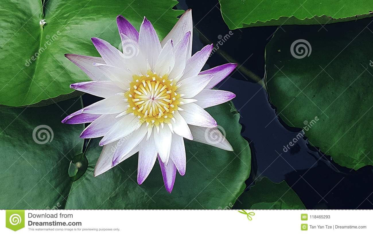 Lotus flower in water stock image image of blooms beautiful the lotus flower blooms most beautiful from the deepest and thickest mud izmirmasajfo