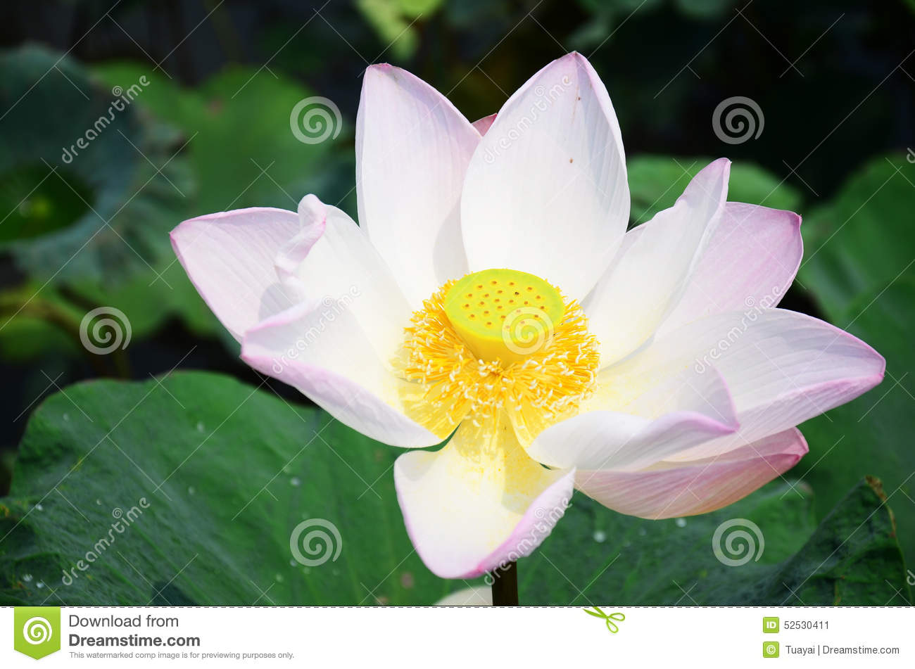 Lotus flower or water lilly blossom in pond stock image image of the lotus flower is an aquatic perennial sometimes mistaken for the water lily the lotus has a distinctively different structure izmirmasajfo