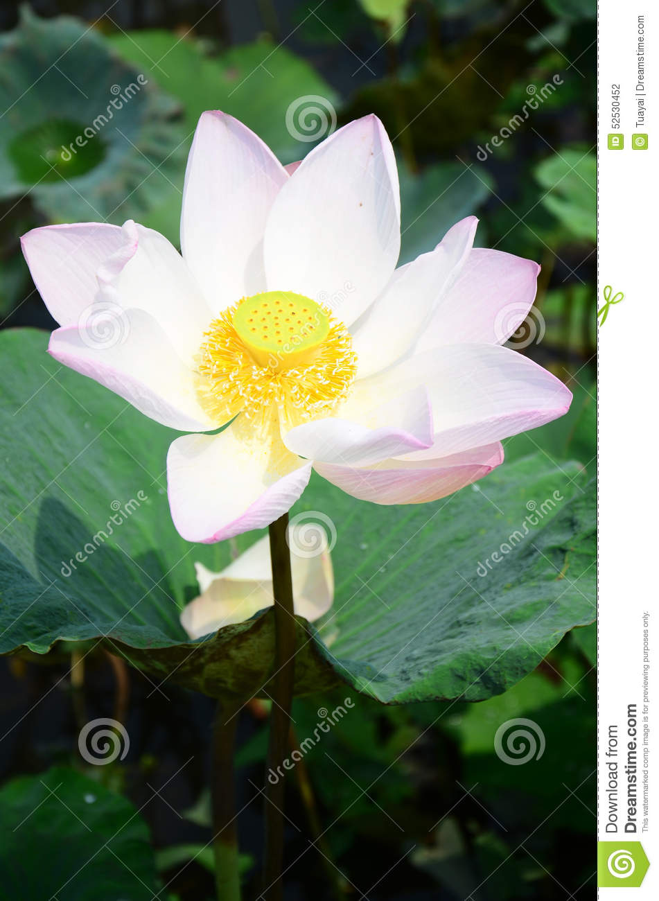 Lotus flower or water lilly blossom in pond stock photo image of the lotus flower is an aquatic perennial sometimes mistaken for the water lily the lotus has a distinctively different structure izmirmasajfo