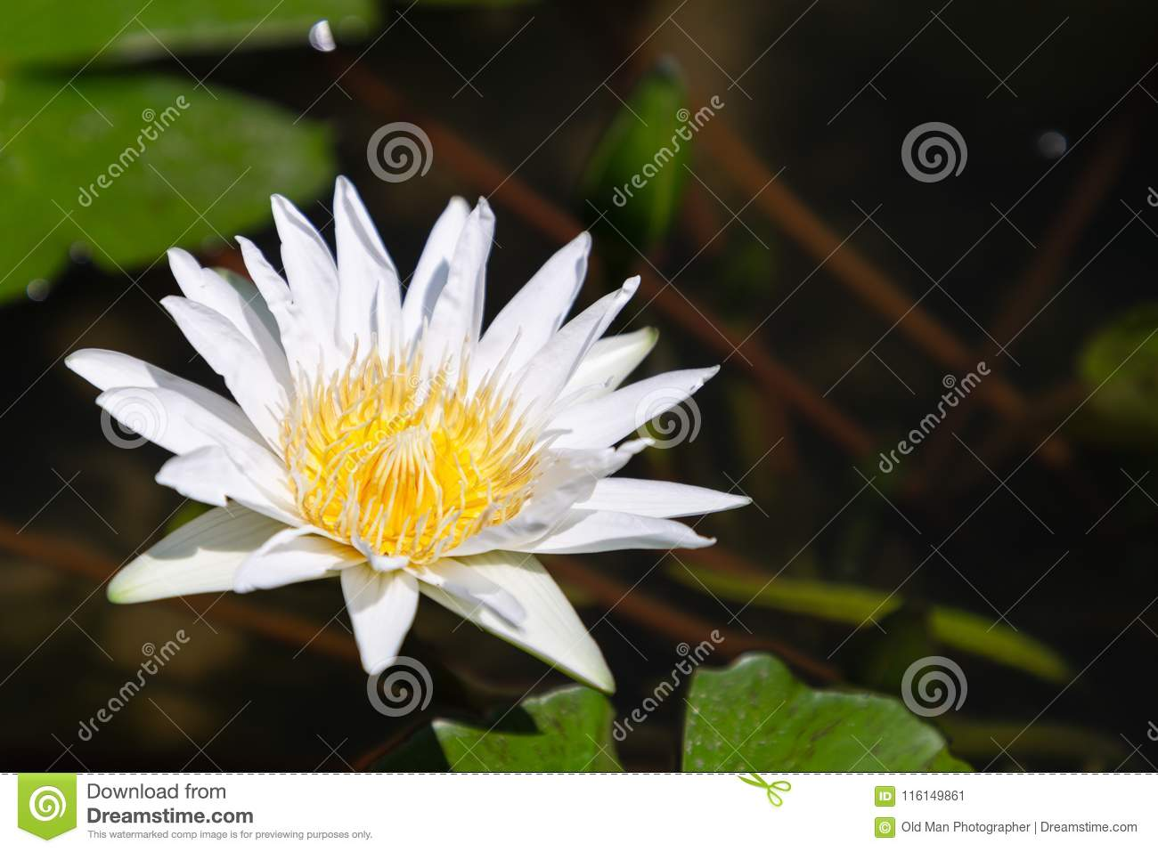 Lotus Flower Or Water Lily Flower Blooming With Green Leaves