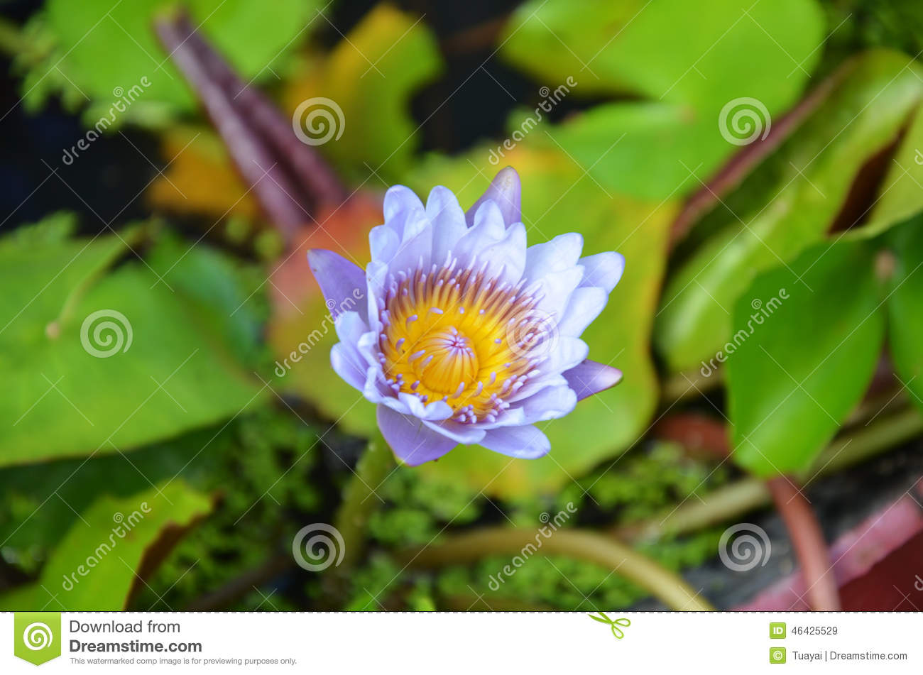 Lotus flower or water lily blossom stock image image of pure download lotus flower or water lily blossom stock image image of pure nature mightylinksfo