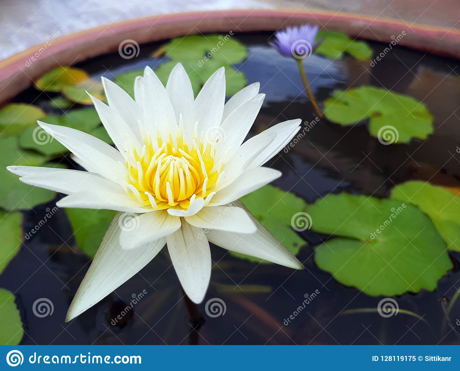 Lotus Flowerwater Lilyblossoming Lily Flower With Green Leaves
