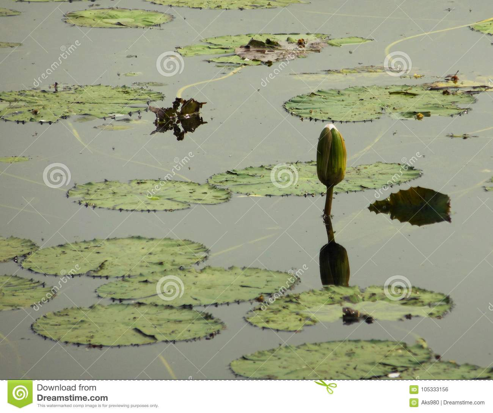 Lotus flower water lily bud in pond natural habitat stock photo download lotus flower water lily bud in pond natural habitat stock photo image of bloom mightylinksfo