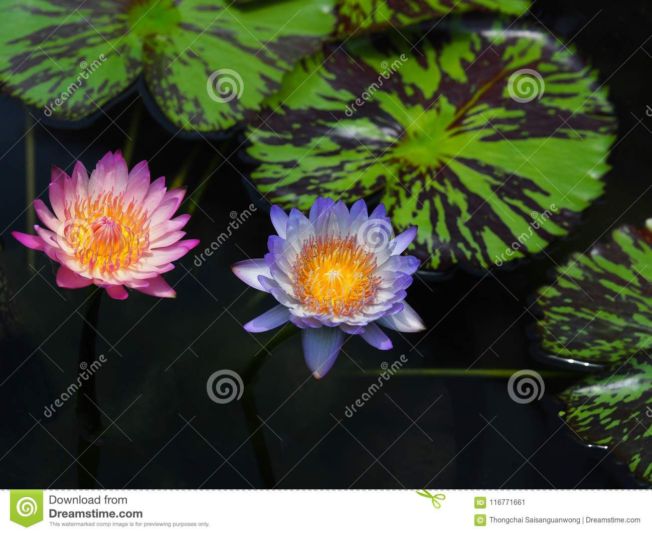 Lotus flower or water lily and green leaf beautifully blooming in lotus flower or water lily and green leaf beautifully blooming in the spa pool to decorate it is the flower of the month july is also related to art and izmirmasajfo