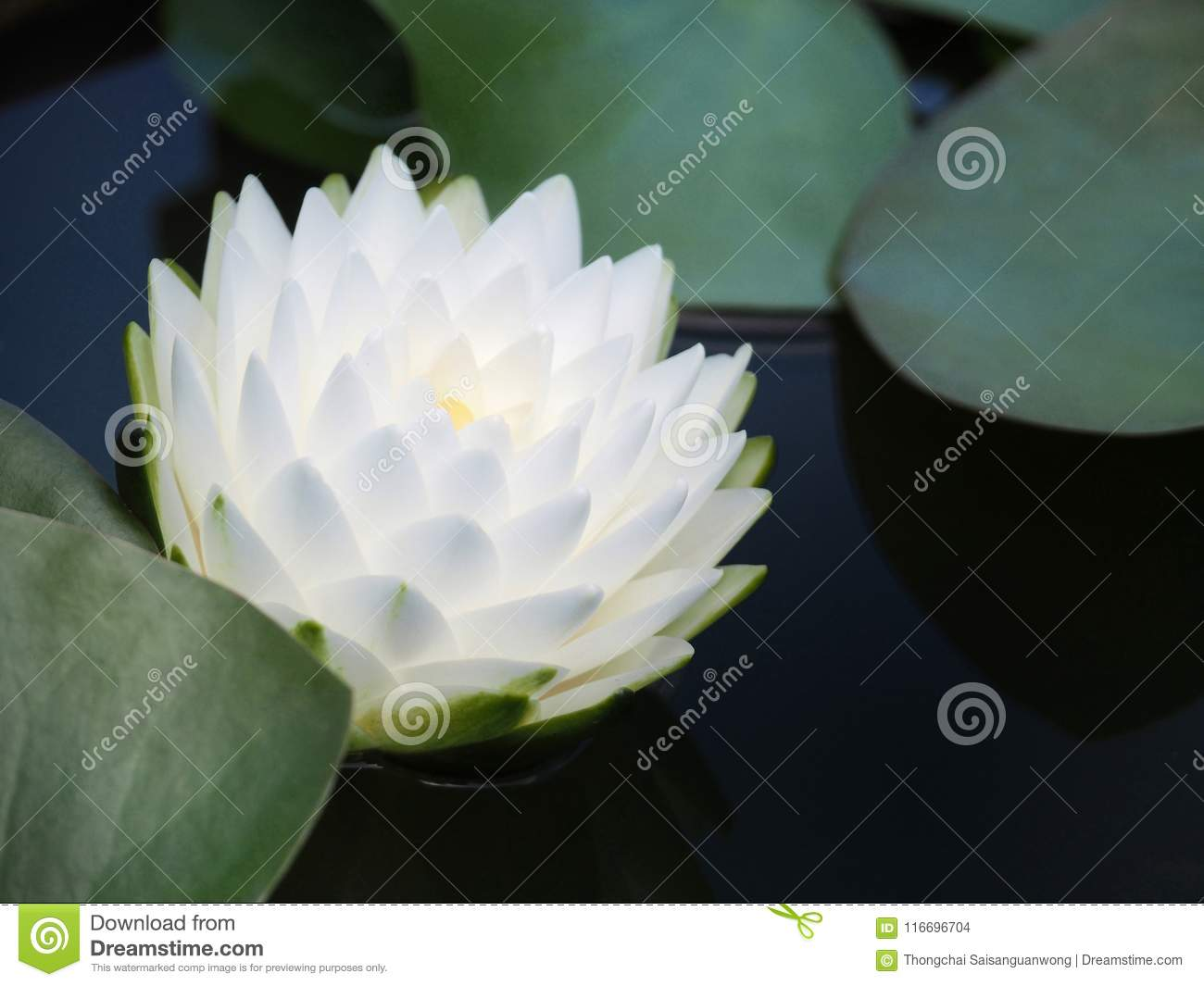 Lotus flower or water lily with green leaves beautifully blooming in lotus flower or water lily with green leaves beautifully blooming in the spa pool to decorate it is the flower of the month july is also related to art izmirmasajfo