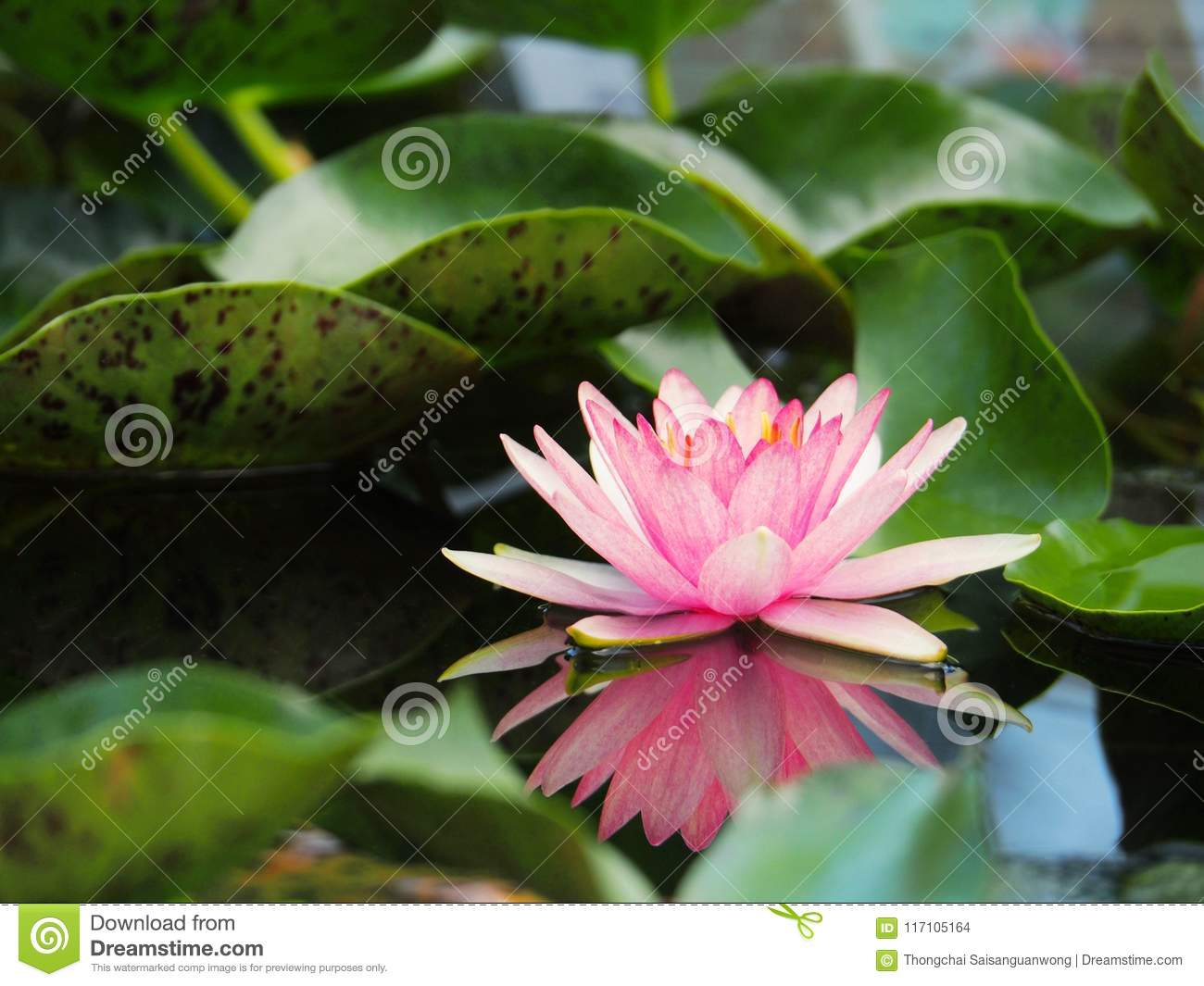Lotus Flower Or Water Lily Pink With Green Leaves Beautifully
