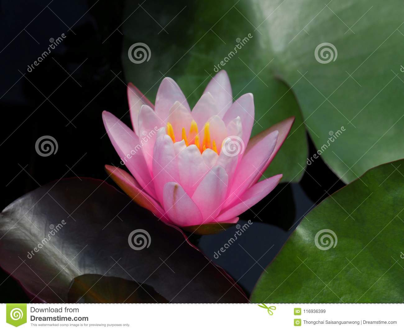 Lotus flower or water lily pink with green leaves beautifully lotus flower or water lily pink with green leaves beautifully blooming in the spa pool to decorate it is the flower of the month july is also related to izmirmasajfo