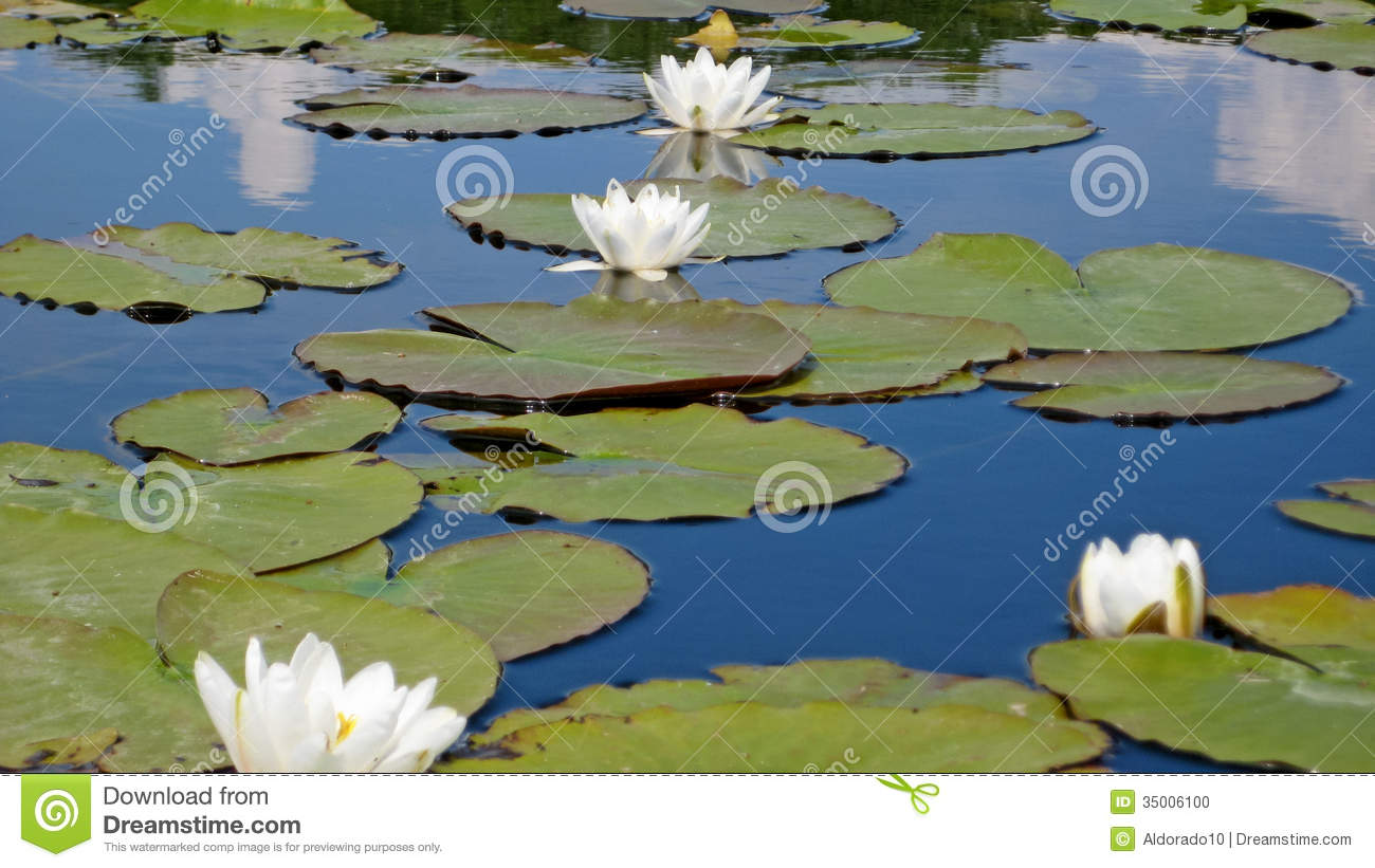 Lotus flower stock photo image 35006100 for Green water in pond