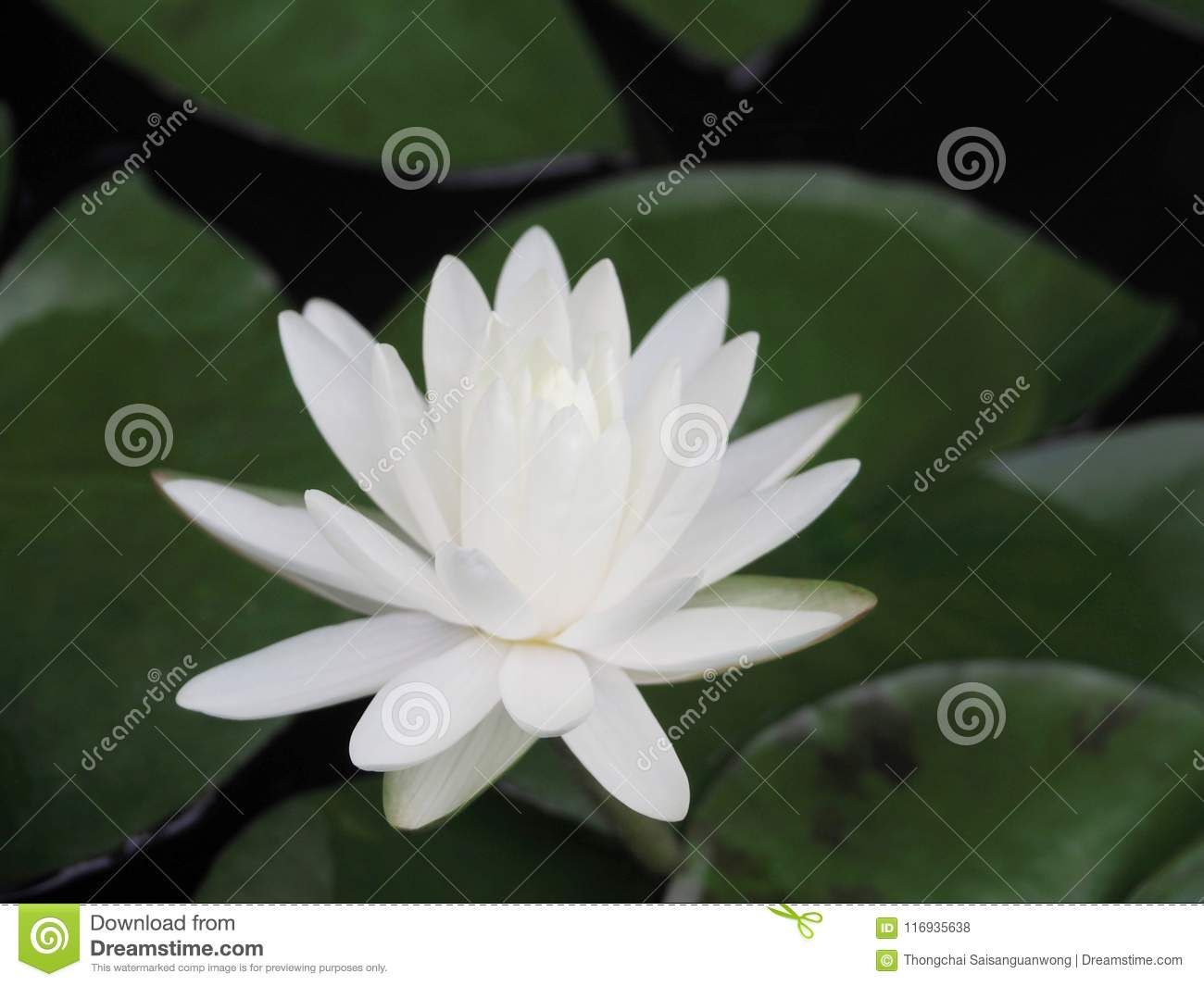 Lotus Flower Or Water Lily White With Green Leaves Beautifully