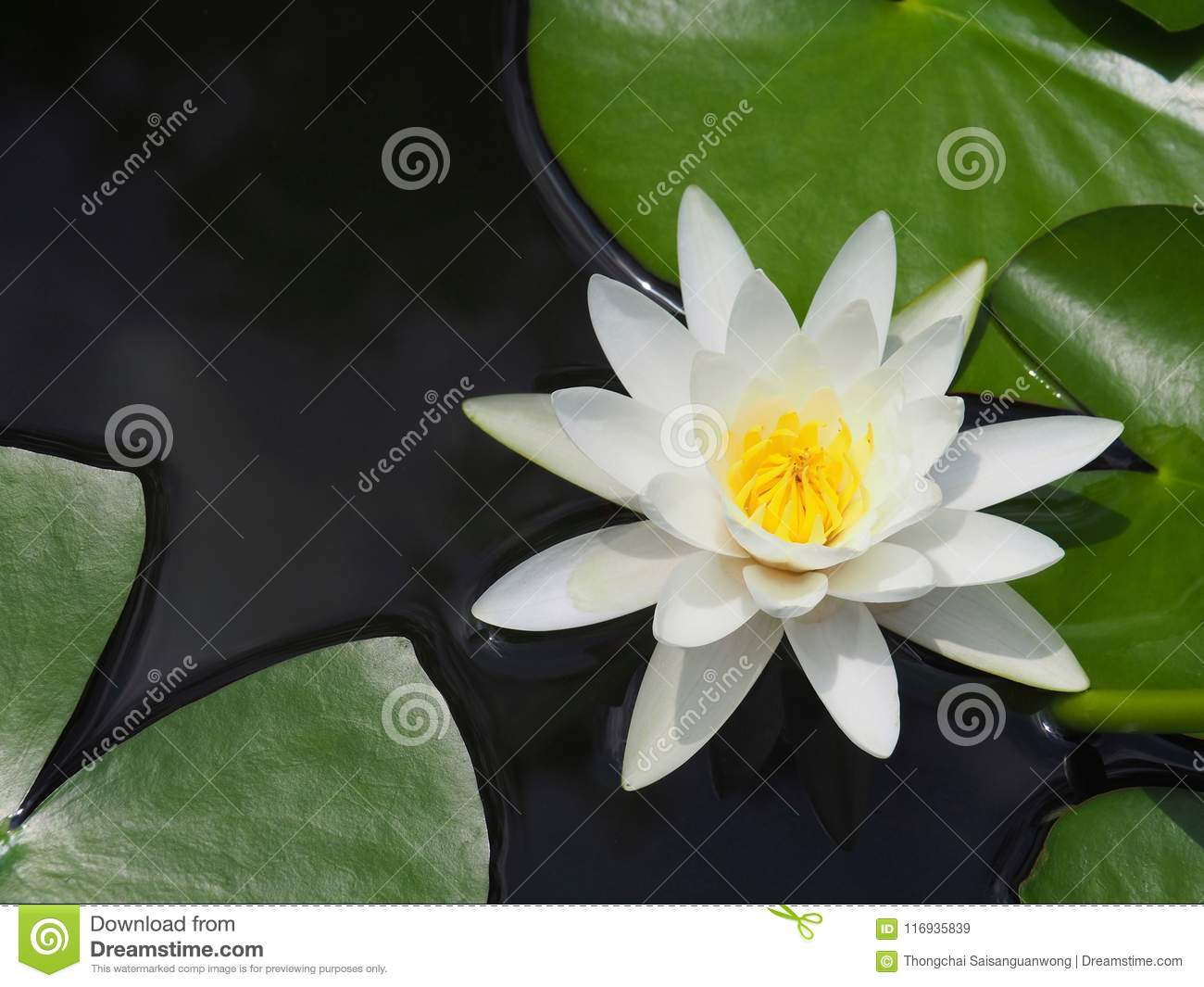 Lotus flower or water lily white with green leaves beautifully lotus flower or water lily white with green leaves beautifully blooming in the spa pool to decorate it is the flower of the month july is also related to izmirmasajfo