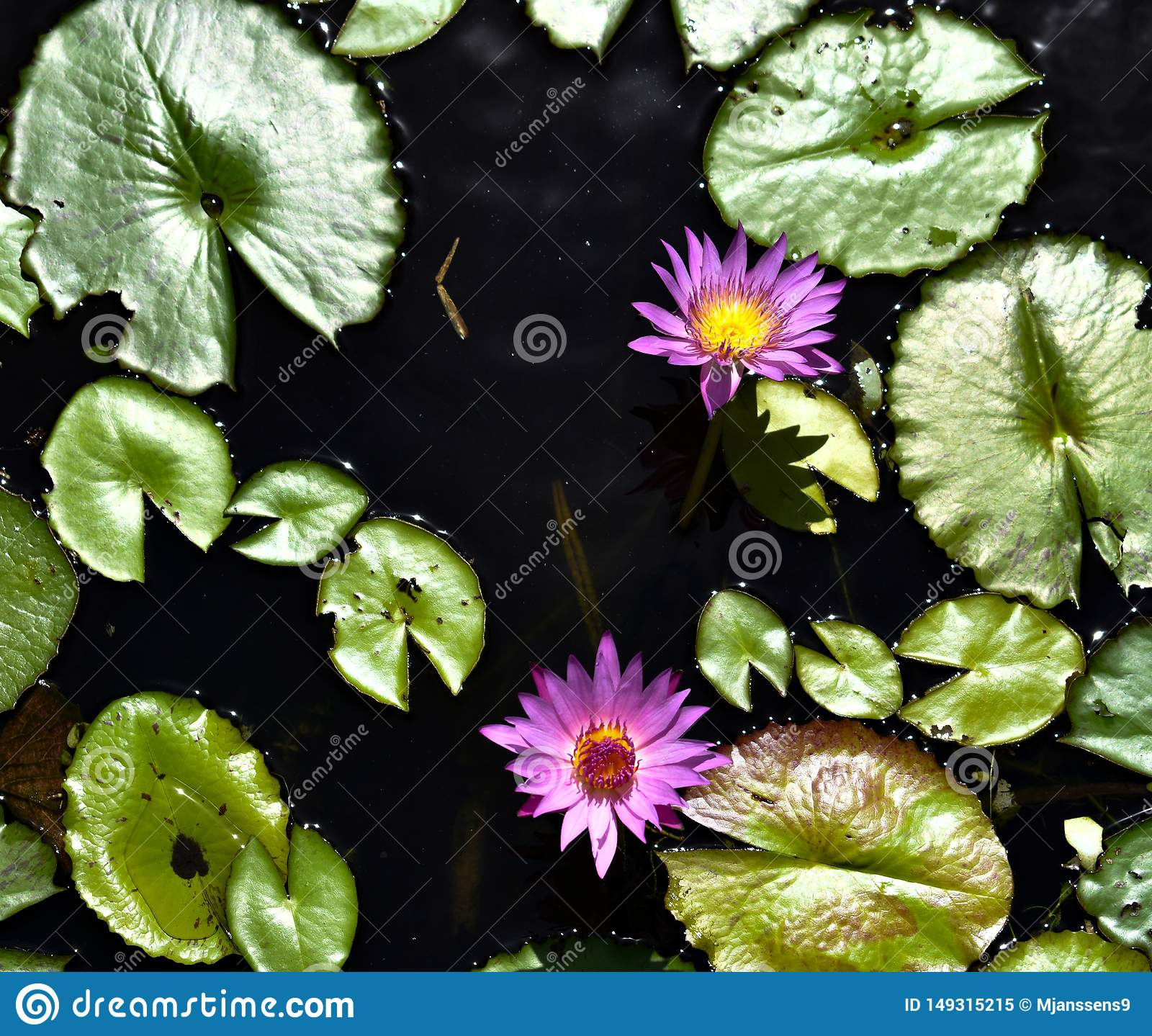 Lotus Flower and Water Lilys in Zen Water