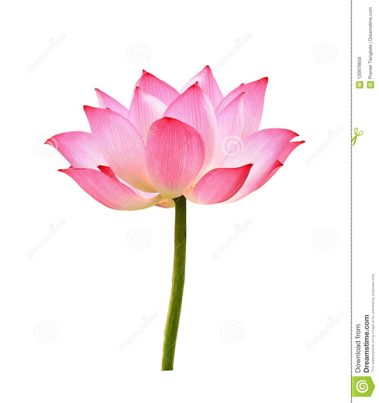The Lotus Flower On White Background Stock Photo Image Of Bloom