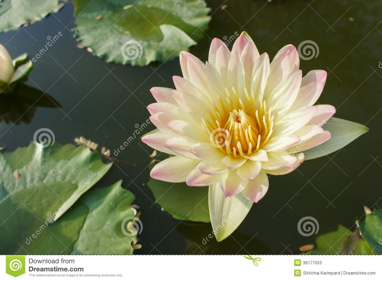 Lotus flower stock image image of blooming flora floral 36177553 lotus flower izmirmasajfo