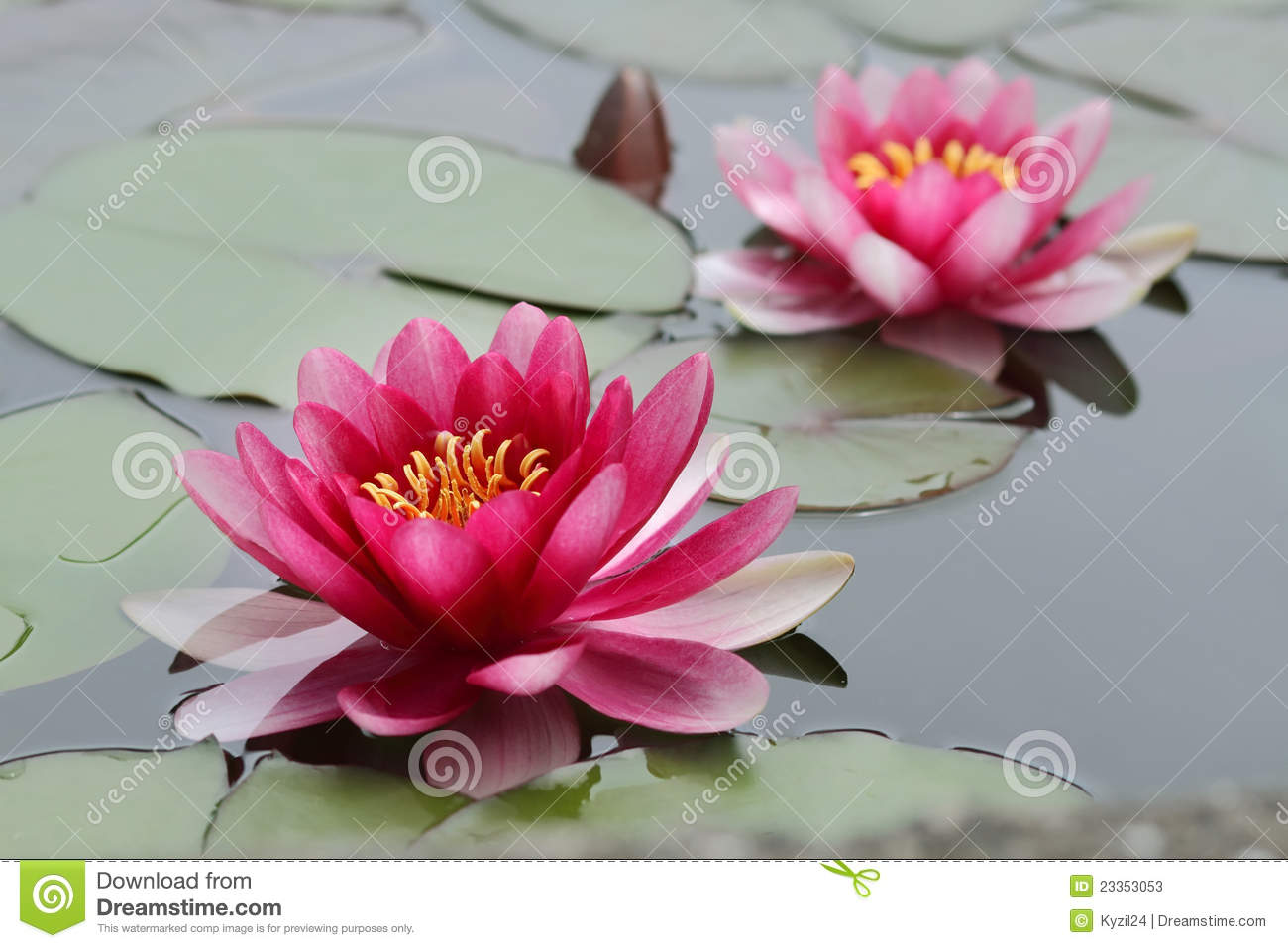 lotus flowers stock photo  image, Beautiful flower