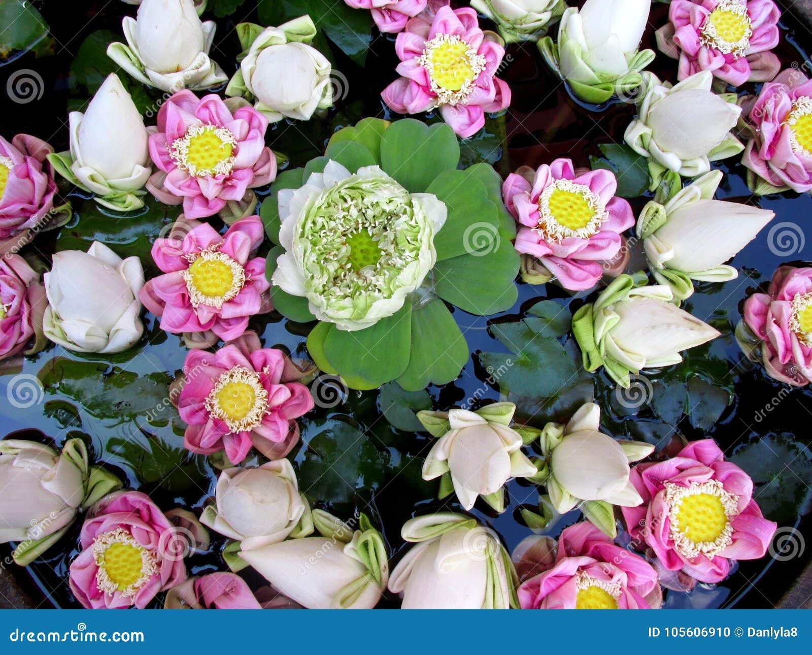 white lotus cambodia