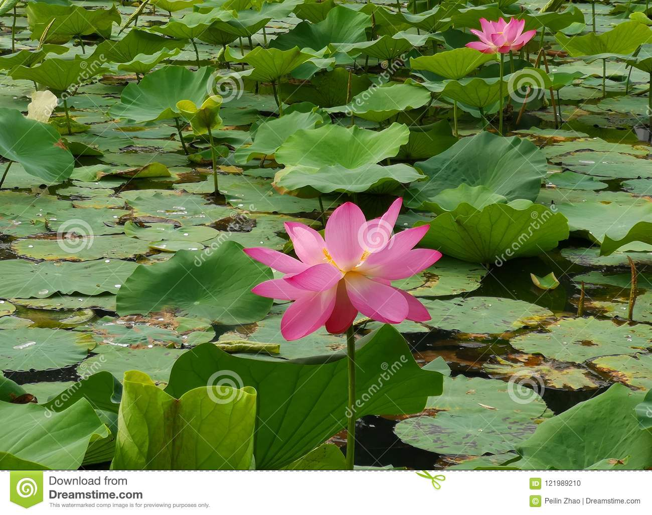 Two Lotus Flowers Are Electing On The Water Surface Stock Photo