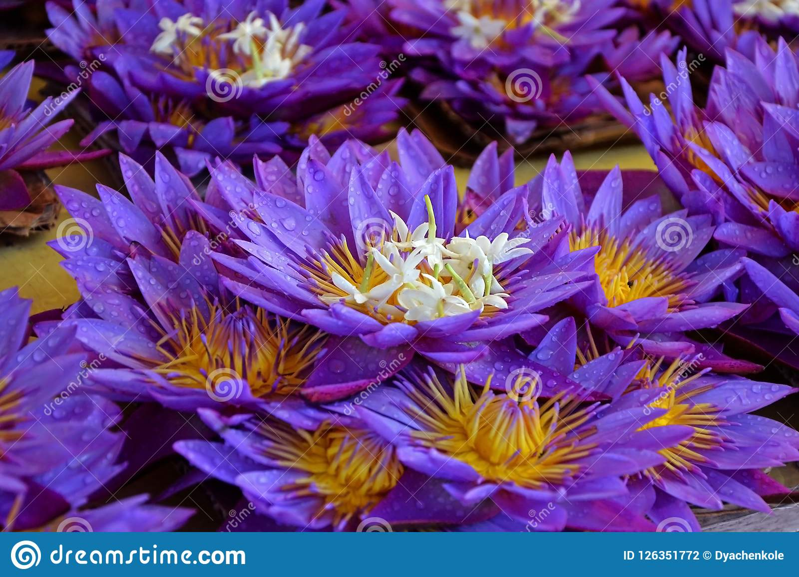 Lotus Flowers With Drops Of Dew Sale Of Flowers Freshness Morning